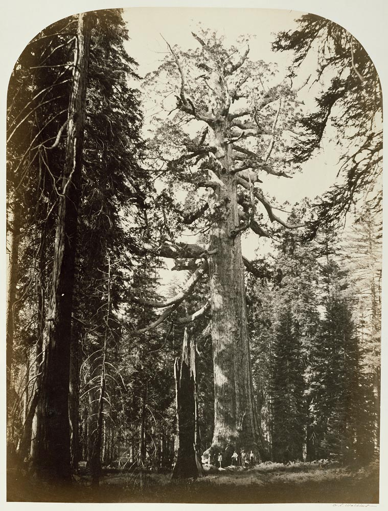 Watkins #112 - The Grizzly Giant, Mariposa Grove, Yosemite