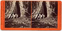 1171 - In the Mariposa Grove, Mariposa County, Cal.