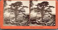 3871 - In the Cypress Groves, Monterey, Cal.